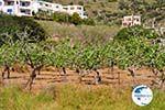 Pistache trees Aegina | Marathonas | Greece  1 - Photo GreeceGuide.co.uk