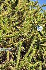 Marathonas Cactus plants | Aegina | Greece  1 - Photo GreeceGuide.co.uk