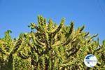 Marathonas Cactus plants | Aegina | Greece  2 - Photo GreeceGuide.co.uk