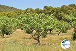 Pistache trees near Palaiochora | Aegina | Greece  Photo 1 - Photo GreeceGuide.co.uk