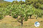 Pistache trees near Palaiochora | Aegina | Greece  Photo 3 - Photo GreeceGuide.co.uk