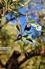 Olive tree near Steni Vala Alonissos   Sporades   Greece  - Photo GreeceGuide.co.uk