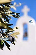 Olive tree near chappel Agios Petros Steni Vala Alonissos | Sporades | Greece  - Photo GreeceGuide.co.uk