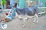 Donkey sanctuary Aghia Marina near Petrokefali | South Crete | Greece  Photo 22 - Photo GreeceGuide.co.uk
