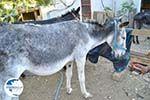 Donkey sanctuary Aghia Marina near Petrokefali | South Crete | Greece  Photo 23 - Photo GreeceGuide.co.uk
