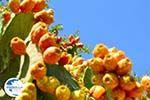 Cactusvijgen near Taverna the Belgen in Vori | South Crete | Greece  Photo 3 - Photo GreeceGuide.co.uk