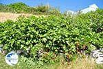 Arkasa (Arkassa) | Karpathos island | Dodecanese | Greece  003 - Photo GreeceGuide.co.uk