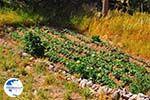 Tuin in small village Dilinata - Cephalonia (Kefalonia) - Photo 36 - Photo GreeceGuide.co.uk