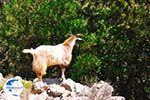 Antisamos - Antisami - Cephalonia (Kefalonia) - Photo 247 - Photo GreeceGuide.co.uk