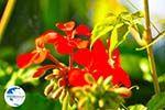 Flowers in Lassi - Cephalonia (Kefalonia) - Photo 309 - Photo GreeceGuide.co.uk