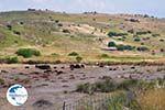 Schapen at The bay of Kalloni - Photo GreeceGuide.co.uk