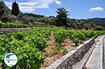 Wijngaarden langs the weg of Marathokampos to Karlovassi - Island of Samos - Photo GreeceGuide.co.uk