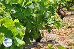Druiven langs the weg of Marathokampos to Karlovassi - Island of Samos - Photo GreeceGuide.co.uk