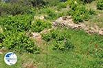 Papavers and wijngaarden in Manolates - Island of Samos - Photo GreeceGuide.co.uk