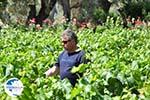 Mr Apostolos Lykos of wijnproducent of the firma Lykos | Euboea Greece | Greece  - Photo 002 - Photo GreeceGuide.co.uk