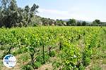 Wijngaarden between Lefkandi and Eretria | Euboea Greece ) Greece   - Photo 004 - Photo GreeceGuide.co.uk