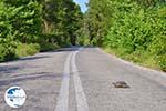 Schildpad over the weg in North-Euboea   Greece   Greece  - Photo GreeceGuide.co.uk