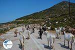 Goats near Agia Theodoti Ios - Psathi Ios - Cyclades Photo 289 - Photo GreeceGuide.co.uk