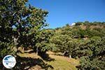 Pera Meria | Overal eikenbomen | Kea (Tzia) Photo 3 - Photo GreeceGuide.co.uk
