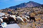 Sheep and shepherds near Sigri | Lesbos Greece | Photo 5 - Photo GreeceGuide.co.uk