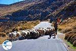 Sheep en shepherds near Sigri   Lesbos Greece   Photo 7 - Photo GreeceGuide.co.uk