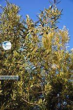 Olive trees  near Molyvos | Lesbos Greece | Photo 2 - Photo GreeceGuide.co.uk