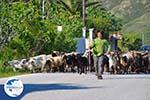 Jonge herder with zijn geiten | Skyros | Greece - Photo GreeceGuide.co.uk
