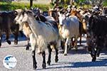 Goats on Skyros | Skyros Greece Photo 1 - Photo GreeceGuide.co.uk