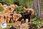Geitjes near Pefkos | Skyros Greece Photo 2 - Photo GreeceGuide.co.uk