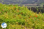 Bloemen on Skyros near Agios Dimitrios Skyros - Photo GreeceGuide.co.uk