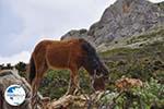 Wilde dwergpaarden in the zuiden of Skyros   Photo 1 - Photo GreeceGuide.co.uk