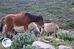Wilde dwergpaarden in the zuiden of Skyros | Photo 3 - Photo GreeceGuide.co.uk