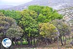 Skyriaanse trees | Zuid-Skyros - Photo GreeceGuide.co.uk