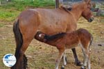 Dwarf Horse with foal | Skyros Greece - Photo GreeceGuide.co.uk